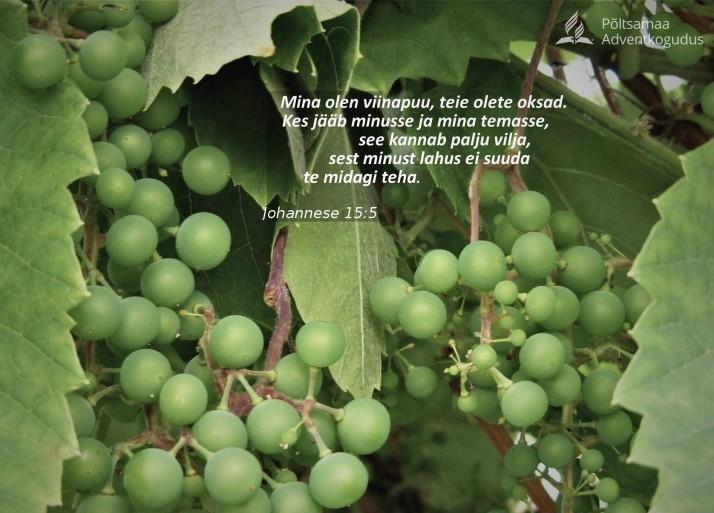 viinamarjad. 714x513 Ühendusest Kristusega
