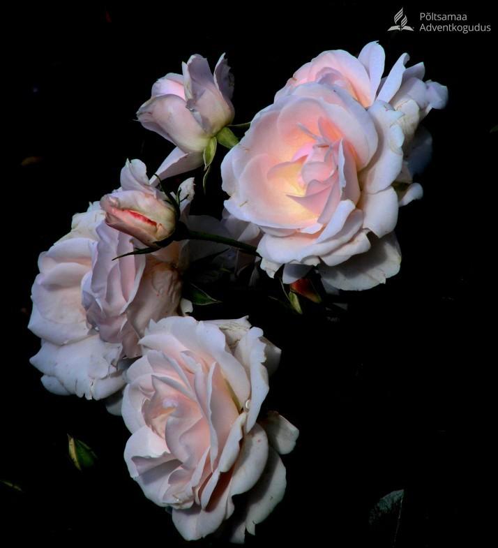roosad heledad 1 714x785 Pühaduse ilu
