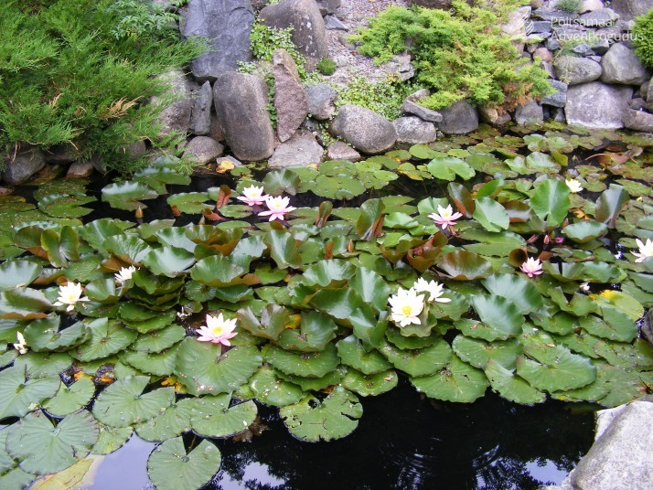 Tartu botaanikaaed 02.juuli 09 105 714x536 Elustav veeläte